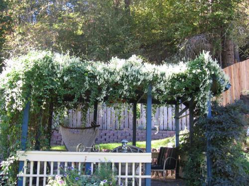 Silver Lace Vine September Bloom