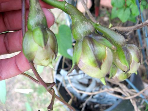 Moonflower Seed Pods Photo Image Picture From Cherylad S Garden