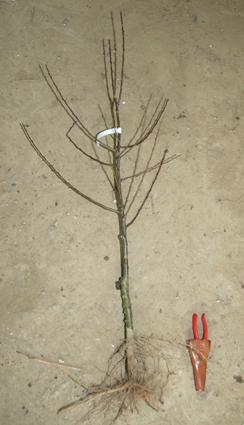 Bare Root Apple tree from www.grownforyou.co.uk