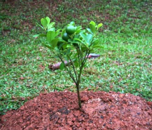 Calamansi Plant