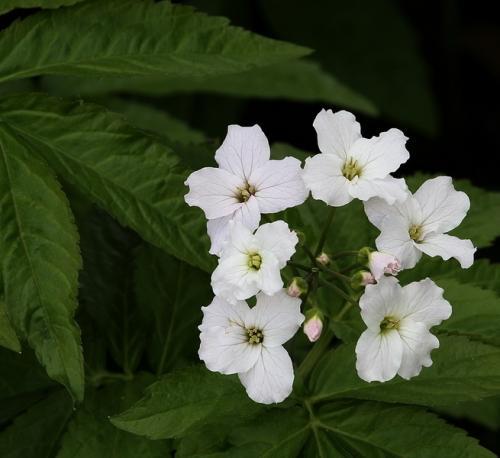 Is this white flower bind weed mightylinksfo