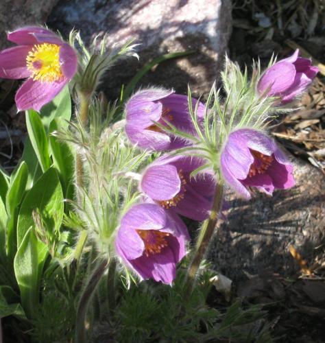 Two beautiful spring flowers to id please mightylinksfo