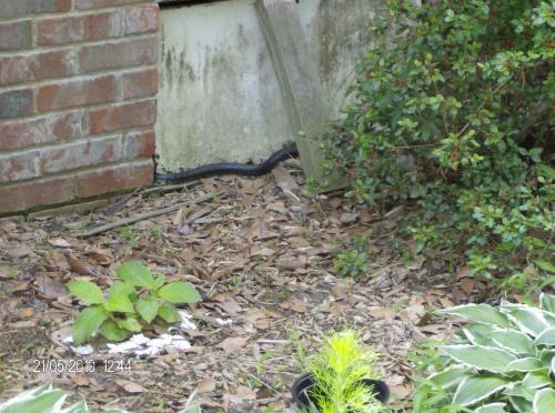 stinkin' snake sleathering under the house