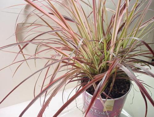 Need help identifying this ornamental grass workwithnaturefo
