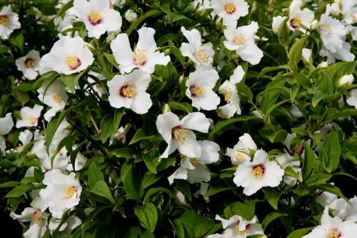 Bush with large white flowers mightylinksfo