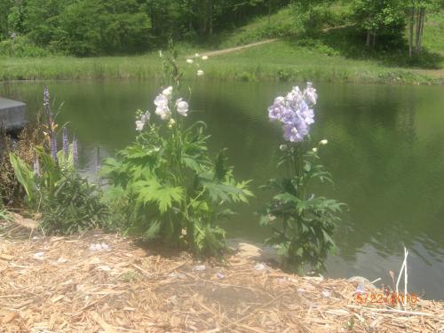 "delphinium ""Garden Lavender"""
