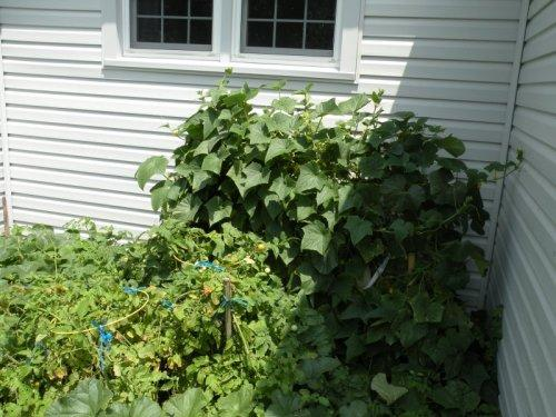 Our cucumbers, tomatoes, and Heirloom Cantaloupes