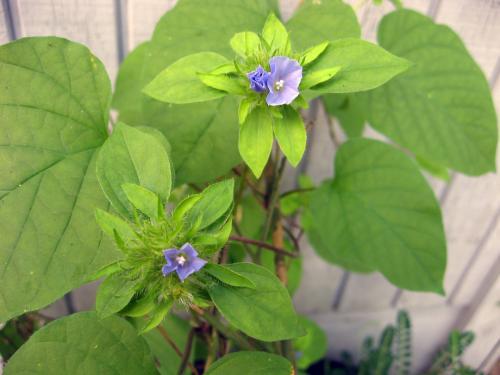 Wild vine, small purple/blue flowers, heart shaped leaves