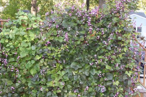 Do You Recognize This Climbing Vine With Purple Flowers