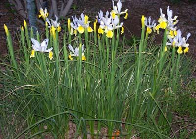 Iris Bulbs To Give Away