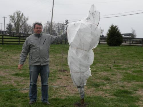 This is the peach tree I wrapped with frost cloth for 3 days.
