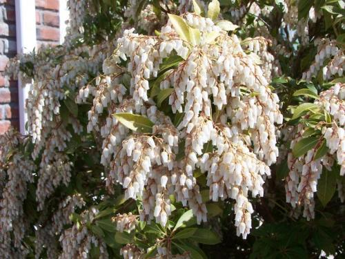 Who can identify the mystery tree white blossoms on front yard tree photo image picture from whistlers garden mightylinksfo