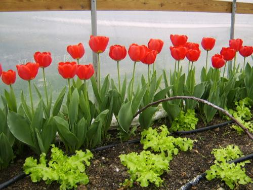 tulips in the high tunnel.