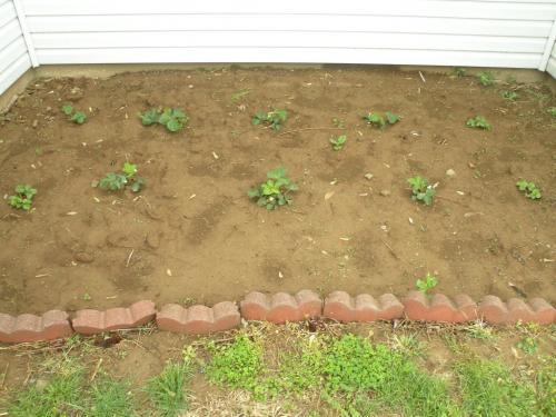 Our Tiny patch of 10 Strawberry Plants