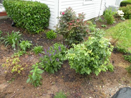 Red Rose bush in middle back and Yellow Rose bush in front