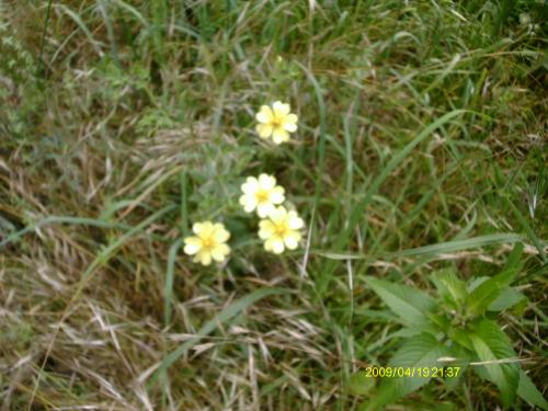 Small pale yellow flowers not invasive mightylinksfo Choice Image