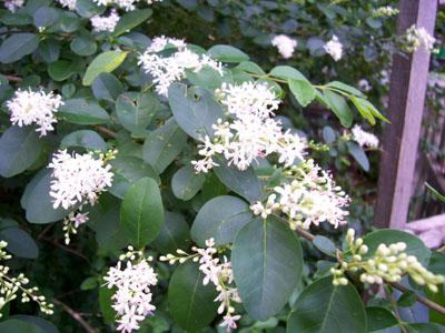 Large Shrub Clusters Of Very Fragrant White Flowers