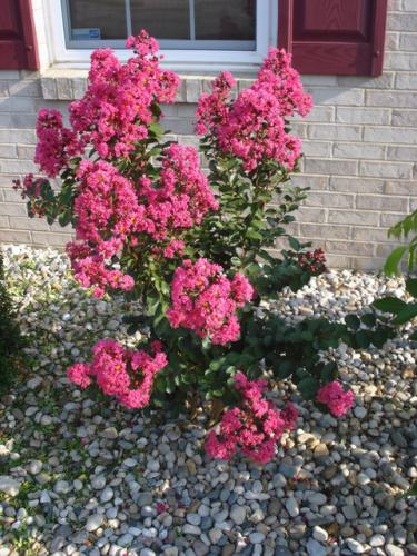 Landscaping Shrubs With Pink Flowers : Shrub that flowers pink photo image picture from
