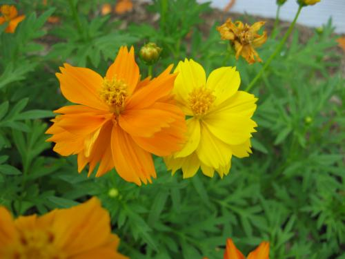 Bright orange cosmos type flower over 10 feet tall orange yellow cosmos photo image picture from cherylads garden mightylinksfo