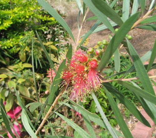Callistemon 'Pink Champagne' is blooming
