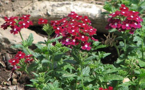 Verbena hybrid 'Burgundy Surprise'