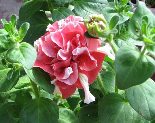 Petunia 'Bonanza Series'