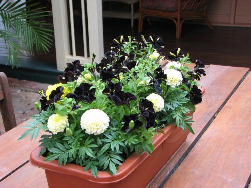 Vanilla Marigolds and Bumble Bee Petunias
