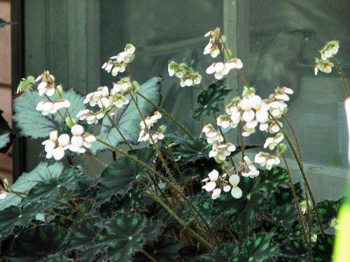 Begonia 'Tiger Paws'