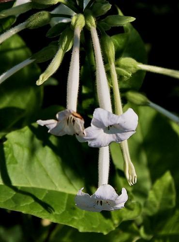 Long white flower heads bell like mightylinksfo