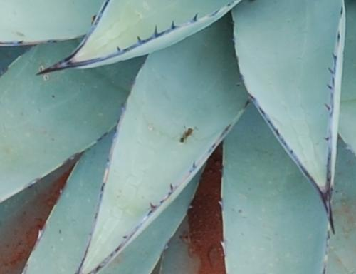 Ants like agave also
