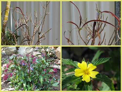 Croton, Scuterllaria and Turnera