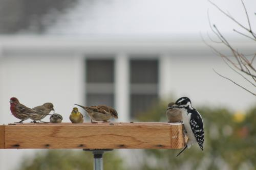 house finch gold finch sparrows and a hairy woodpecker photo