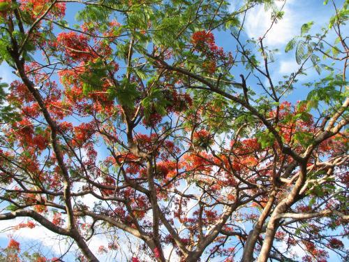 Delonix regia or Poinciana in bloom