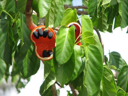 Sterculia quadrifida or Peanut Tree fruit