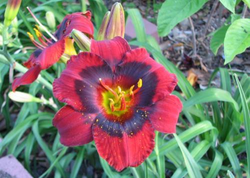 Hemerocallis 'Velvet Eyes'