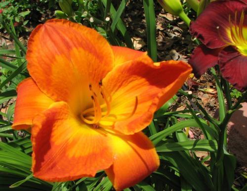 Hemerocallis 'Sweet Summer Heat'