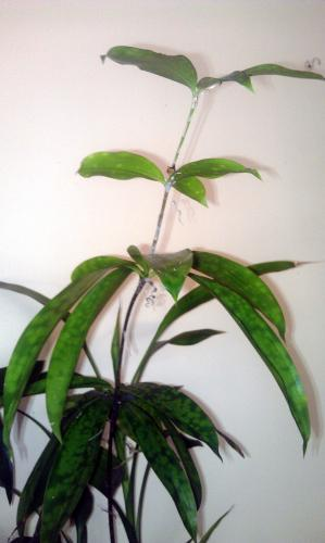 Thin Bamboo Like Plant With Mottled Leaves