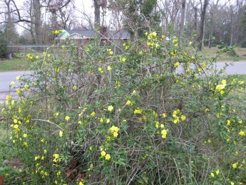 Large Gangly Shrub Yellow Flowers Blooming In January