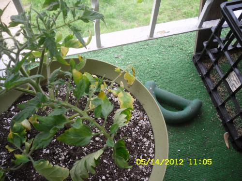 Tomato Leaves
