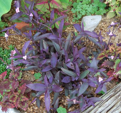 how to get rid of wandering jew plant