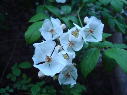 5 petaled flowering plant looks like mock orange 5 petaled flowering plant looks like mock orange mightylinksfo