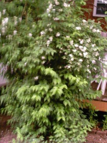 7ft white flower bush smells great mightylinksfo