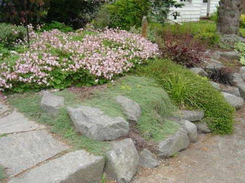 Wooly Thyme Cascading on Rocks