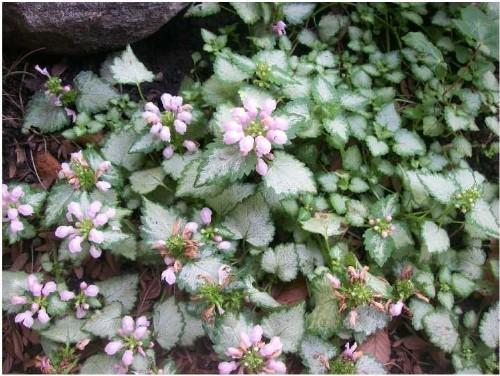 Ground cover pink flowers two toned leaves ground cover pink flowers two toned leaves mightylinksfo