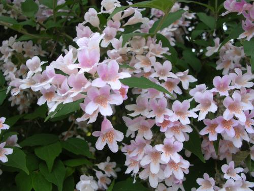 Bush with tiny pink flowers images flower decoration ideas bush with tiny pink trumpets woody stems over 8 tall from a distance photo image picture mightylinksfo