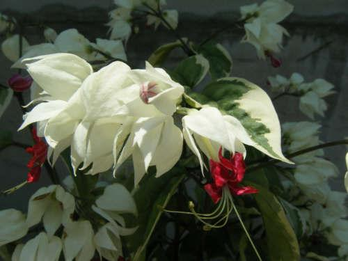 White bell shaped flowers with red flowerets from the center photo image picture from scotths garden mightylinksfo
