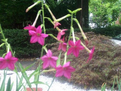 Tall unknown plant with beauitful pink flowers mightylinksfo