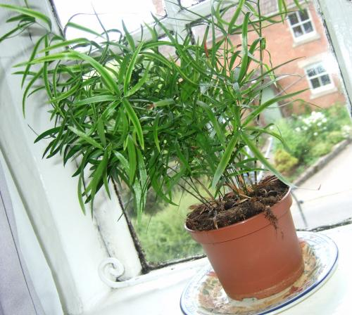 Common House Plant Long Thin Stems And Leaves